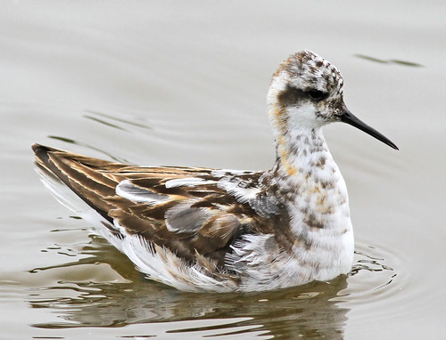 red-necked phalarope | by hawk person