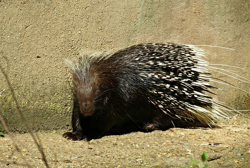 South African Porcupine, Hystrix africaeaustralis | by Linda DV