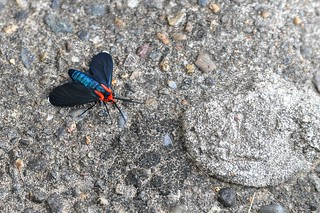 Who are you? Hello I am a Red-Shouldered Ctenucha Moth | by AnotherSaru - Limited mode