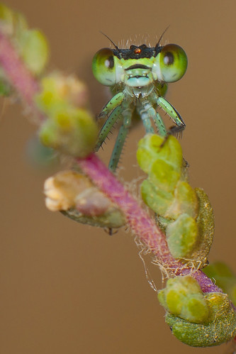 Damselfly | by foad mirzaie