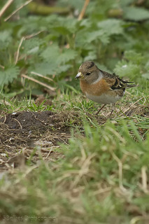 Brambling | by 5Bellies Digiscoping