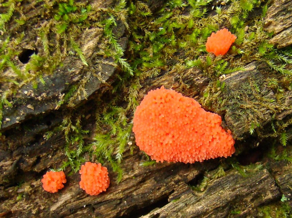 Red slime mold: Tubifera sp. | by Anita363