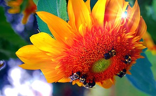 sunflower and bee's..... | by Debby Curtis