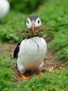 House Proud Puffin | by Dave Kiddle LRPS