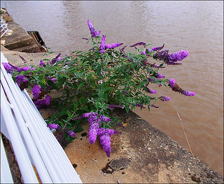 Riverside Buddleia Plant.. | by ** Janets Photos **