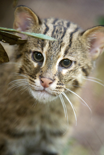 Fishing Cat Kittens Explore Their Yard at the Smithsonian'… | Flickr