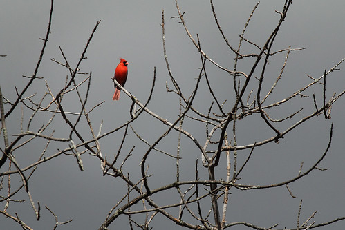 Cardinal With Branches | by Gator 5