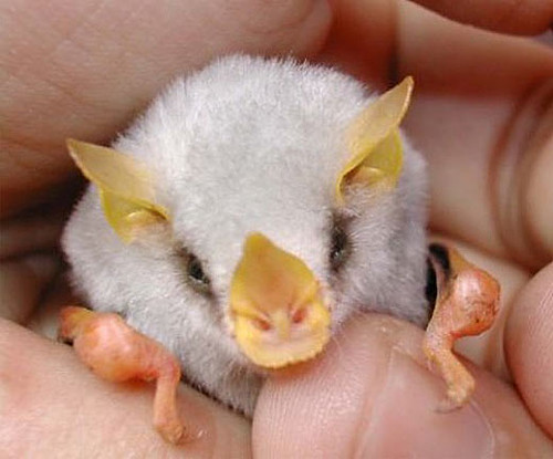 BAT-white-honduran-bat-baby-also in Parts S America | by deDeanna's Simple Pleasures