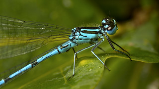 Common Blue Damselfly | by Muzby1801