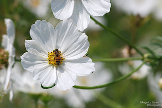 Bee on white cosmos | by angelicacarlos10
