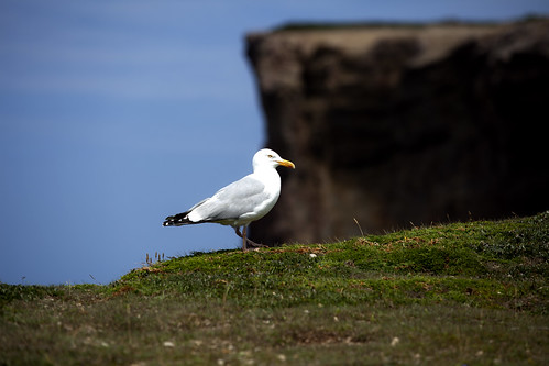 herring gull | by barachois50