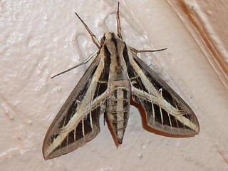 Lesser Vine Sphinx - moth in my stairwell today - pretty big - but beautiful markings. | by Terri Lynn Smith