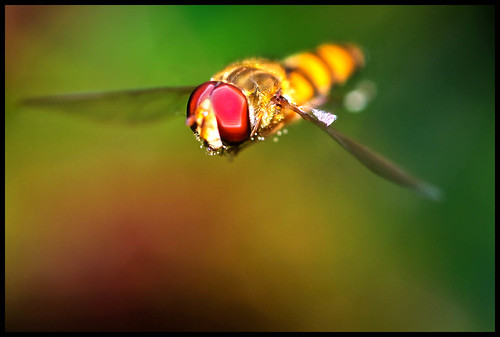 Hover Fly in flight | by muddlemaker1967