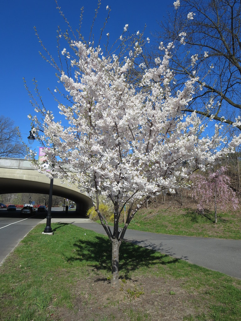 White Cherry Blossom Spring Flowering Tree In Peak Bloom A Flickr