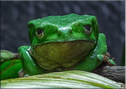 What Is Eos >> Riesengreiffrosch (Phyllomedusa bicolor / giant leaf frog)… | Flickr