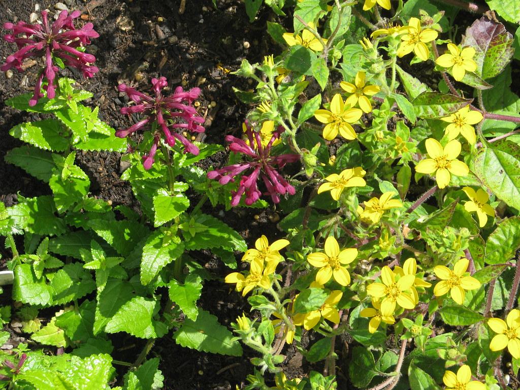 Stachys thunbergii and Chrysogonum virginianum