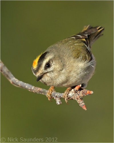 Golden-crowned Kinglet | by Nick Saunders