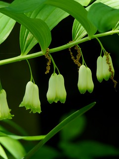 Solomon's Seal | by Dendroica cerulea