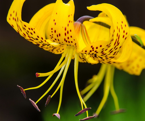 Tiger Lily | by ThingsAbove