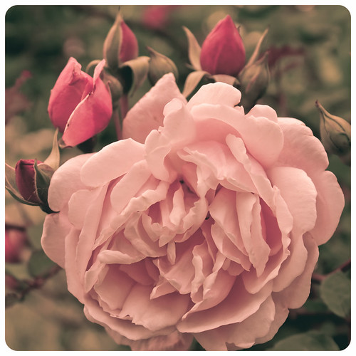 Duftrose # | by koppdesign