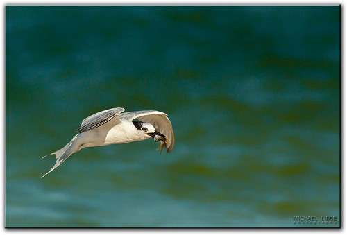 Sandwich Tern | by mlibbe