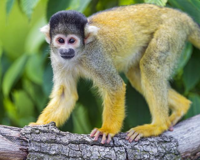 Surprised squirrel monkey