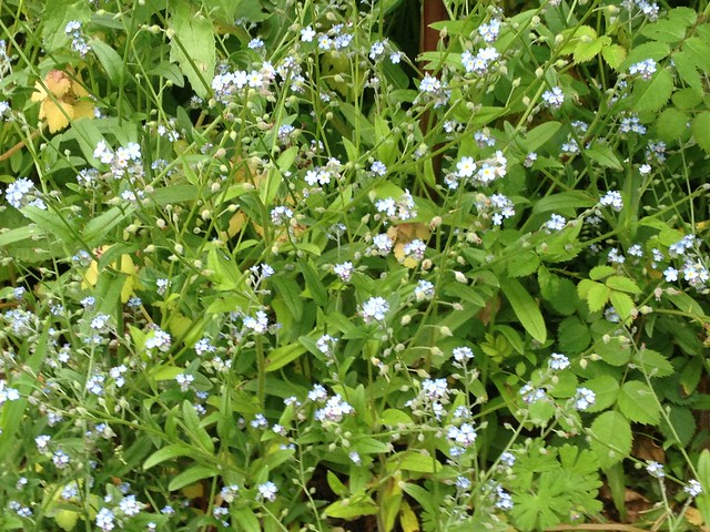 Tendrils: Forget-me-nots growing wild