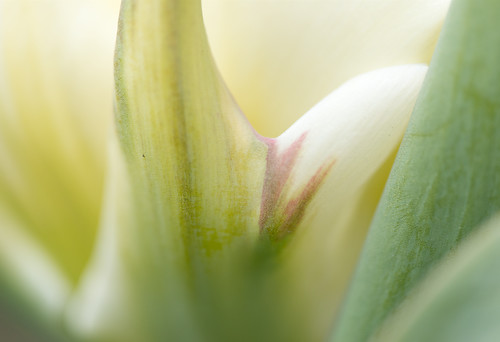 Tulip Detail, Edwards Gardens, Toronto, March 2012 DSC-0221 | by Pavel M