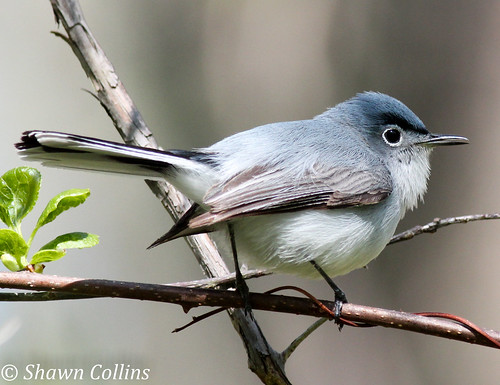 Blue Gray Gnatcatcher | by Shawn Collins Photography