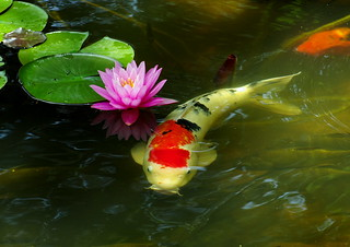 Water Lily and Carp | by h orihashi