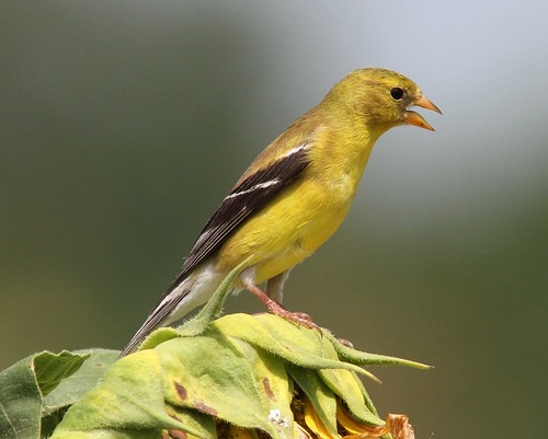 female American Goldfinch | by AllHarts