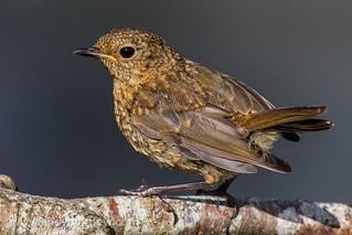 Young Robin | by Andy Morffew