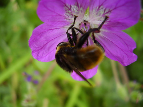 July2012 612 Bee fly on Erodium manescavii | by monica_meeneghan