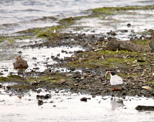 Common Tern and a Lapwing | by S C photos