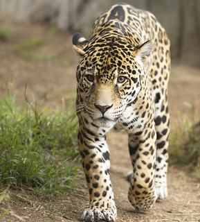 Jaguar | by San Diego Shooter