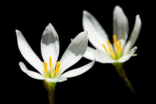 Zephyr Lily | by aelx911