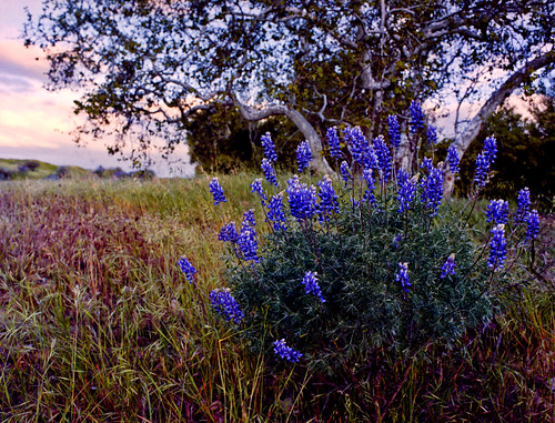 Field Lupine | by Sequoia!