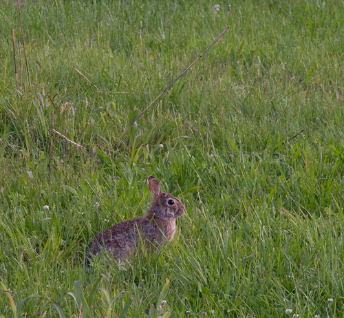 Young rabbit | by Samuel L Wright