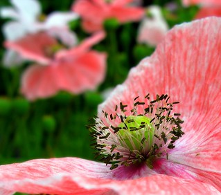 Poppy Power! | by ☜✿☞ Bo ☜✿☞