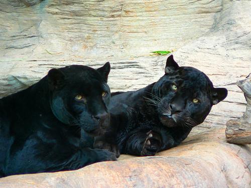 Scientific Name For Black Cats