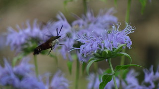 Hummingbird Clearwing Moth | by Rick Wright, Tours and Private Guiding