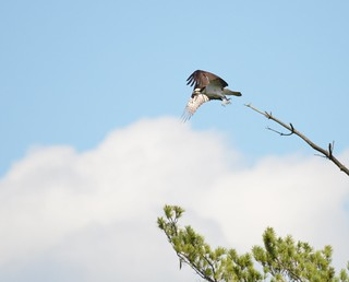 Osprey - Taking Off | by dlv1
