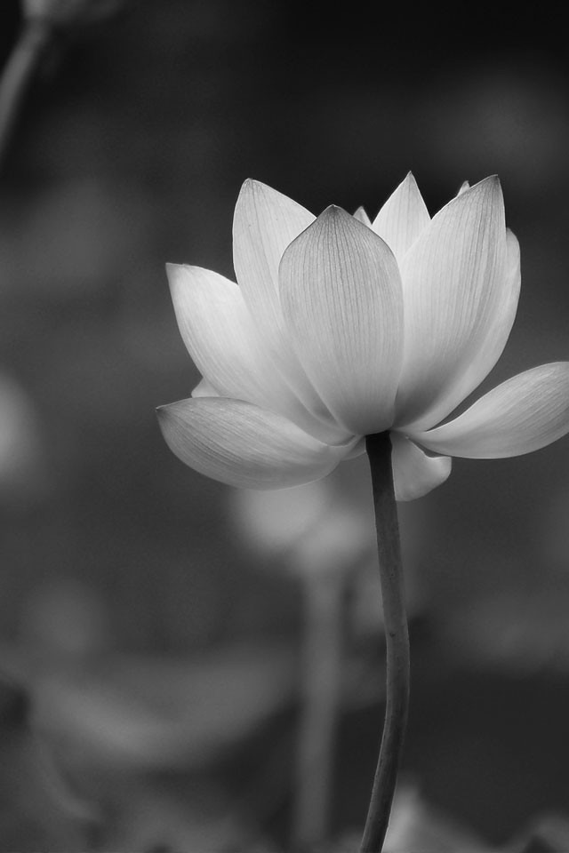 Amazing lotus flower who do you think of the first sight l flickr amazing lotus flower by softease app mightylinksfo