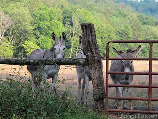 Donkettes 4 | by Farmgirl Susan