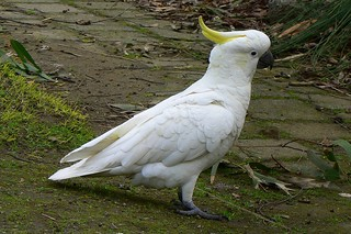 Sulphu-crested Cockatoo | by The Pocket Rocket, On and Off.