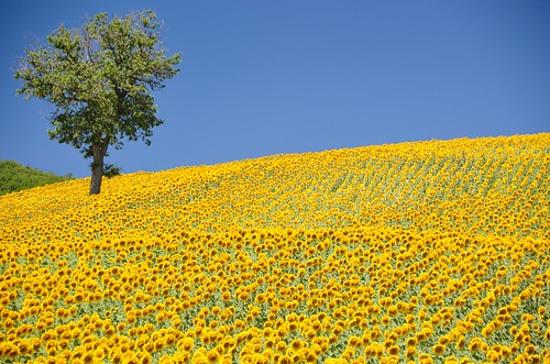 Sunflowers near Cabernadi | by stephenweaver