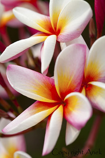 Colorful Plumeria flowers | by anekphoto