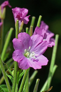 GREAT WILLOW-HERB | by n.j.coomber