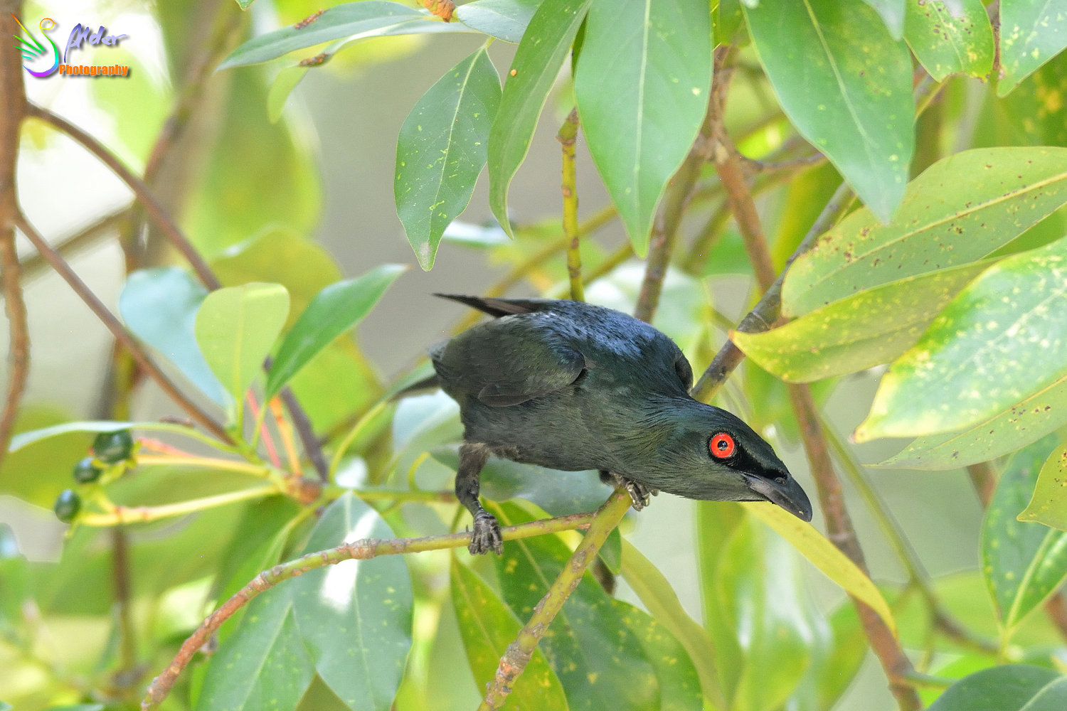Asian_Glossy_Starling_7601