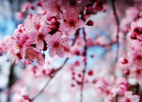 Blossoms and Blue Skies | by *janh*
